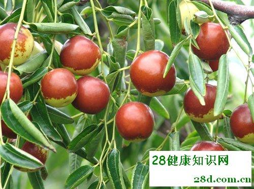 食枣七忌讳:不宜和黄瓜萝卜动物肝脏同吃